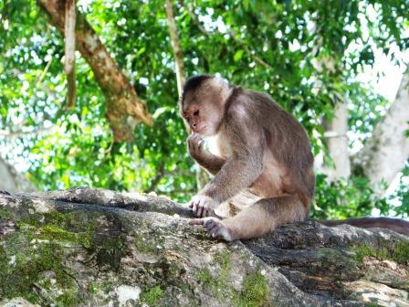 Monkeys in Misahualli