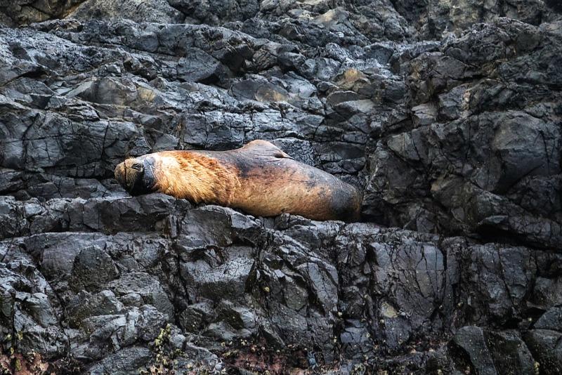 Sea lion Ecuador