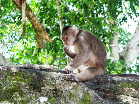 Monkeys in Misahualli